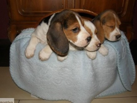 Beagle szczenięta