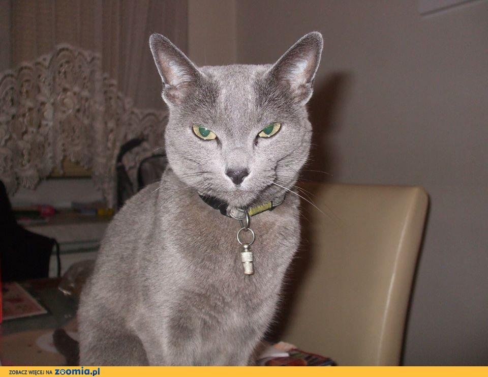 Zaginęła kotka - rosyjski, niebieski - Stoki