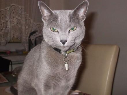 Zaginęła kotka - rosyjski  niebieski - Stoki