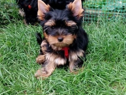 Yorkshire Terrier- śliczna miniaturowa