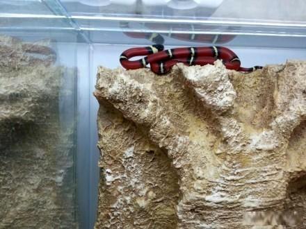 Wąż królewski Lropeltis trangulum sinolae - młoda samica Wejherowo