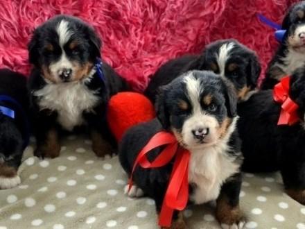 Berneński Pies Pasterski Piękne Szczenięta Do Rezerwacji