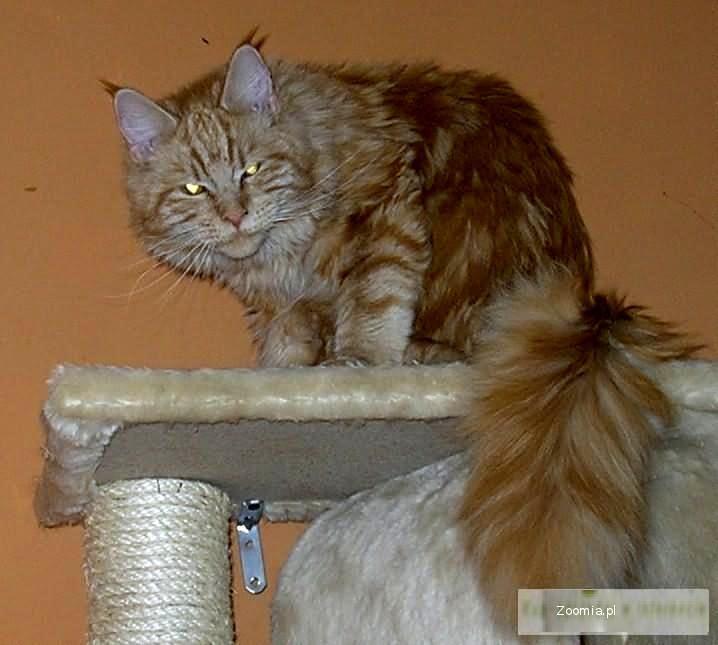 Hodowla kotów rasowych Maine Coon Argoth Pl