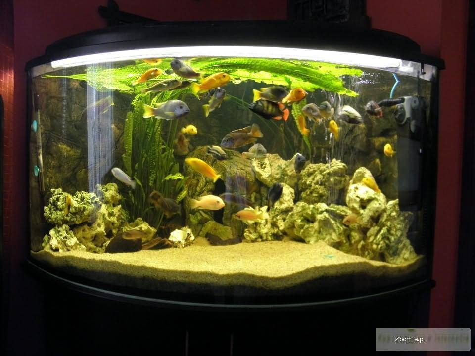 Akwarium Narozne Szafka Rybki Malawi Pokrywa Full Aquariums