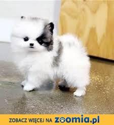 Boże Narodzenie Prezent Wspaniałe szczenięta Pomeranian