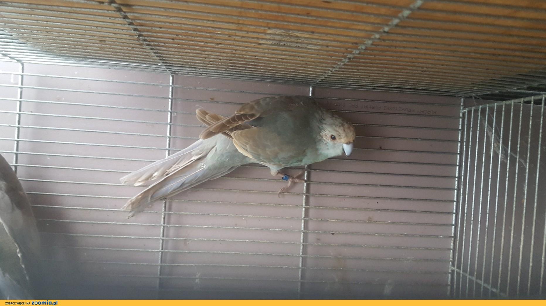 Papuga modrolotka koza