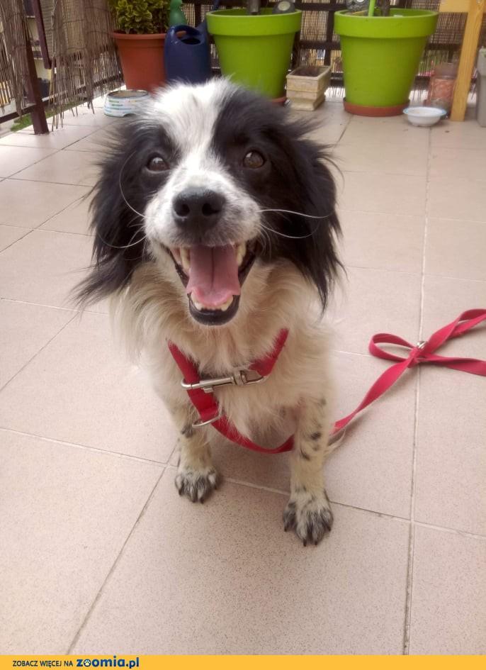 Nakolankowi Figo, młody, kontaktowy, przyjazny psiak szuka domu!