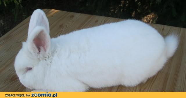 Samiec - Nowozelandzki Biały (RASOWY)