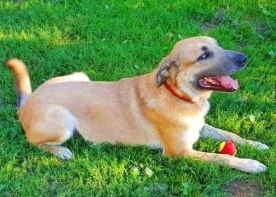 MAFIN - duży  piękny i kochany psiak; do adopcji