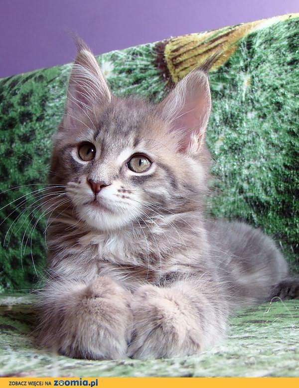 Rodowodowa kotka Maine Coon (a22)