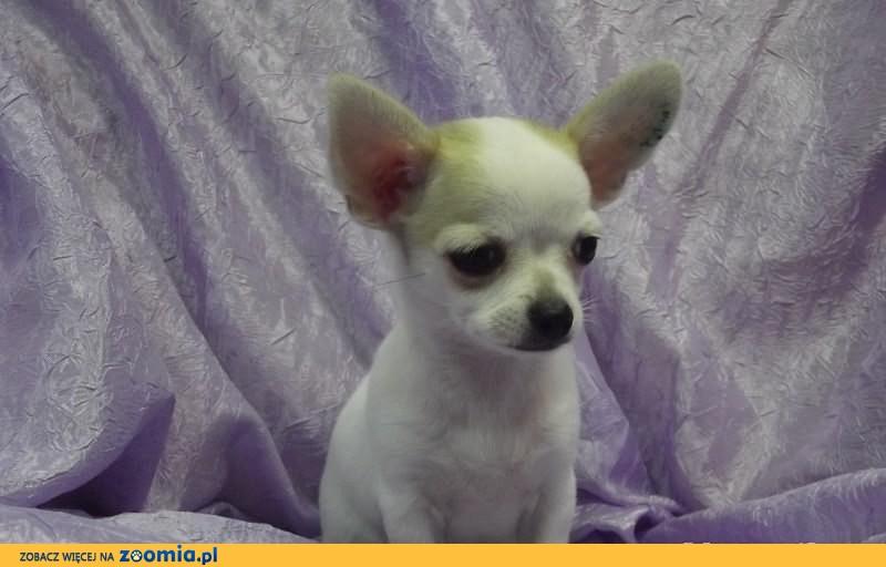 Chihuahua krótkowłosy piesek z metryką ZKwP