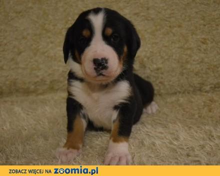Duży Szwajcarski Pies Pasterski - Szczenięta ZKwP po Championach