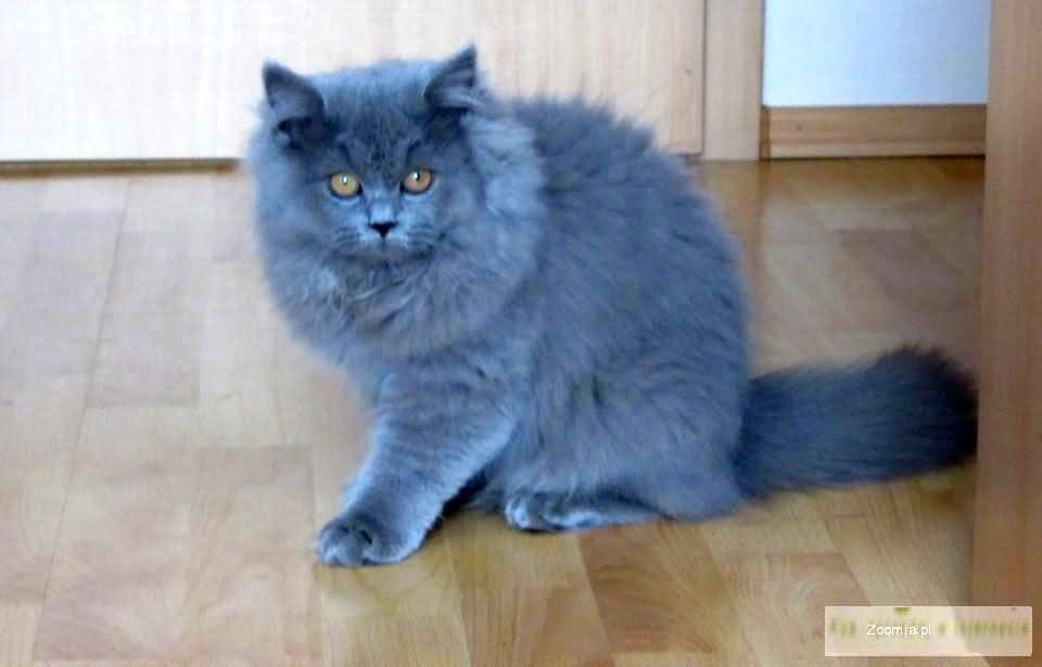 Kot Brytyjski Długowłosy Brytyjski Koty Archiwum Zoomia Pl