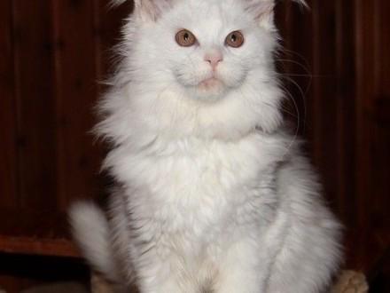 Biała kotka rasy Maine Coon