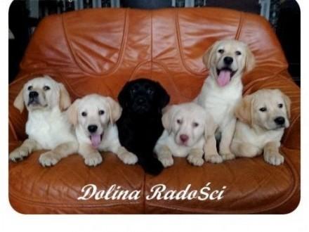 Labrador rodowodowe szczenięta po mamie chion Polski   łódzkie Radomsko