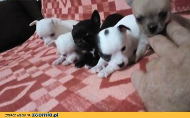Chihuahua, piękne szczenięta,  Chihuahua cała Polska