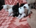 'Chihuahua, piękne szczenięta,  Chihuahua cała Polska
