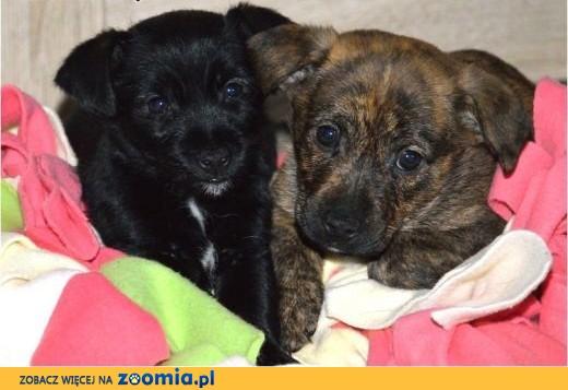 Rodzeństwo szczeniaczków - Luks i Lumia :) Cudne! :),  warmińsko-mazurskie Olsztyn