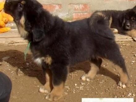 TYBETANY MASTIF MASTIFF TYBETAŃSKI Ogłoszenia,Psy,Mastif tybetański