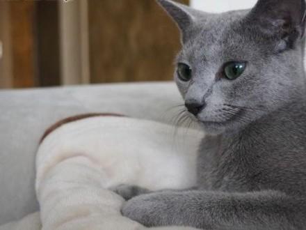 kociaki rosyjskie niebieskie   Koty rosyjskie cała Polska