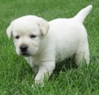 03 Labrador Terrier Z rodowodem