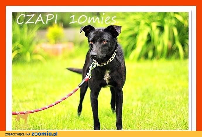 CZAPI-młody 10mies.wesoły,aktywny,przyjazny,czarny pies.ADOPCJA