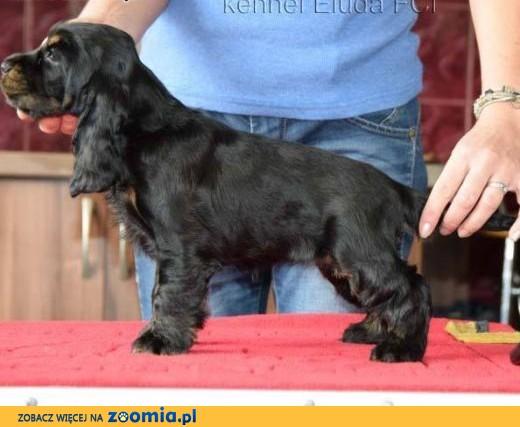 Cocker Spaniel angielski - suczka czarna-podpalana ZKwP,  małopolskie Tarnów