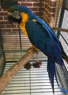 Słodkie i urocze papugi Ara Niebiesko-Złota