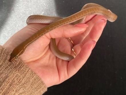 Wąż Mahoniowy
