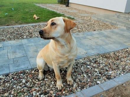 Figa młodziutka labradorka szuka domu