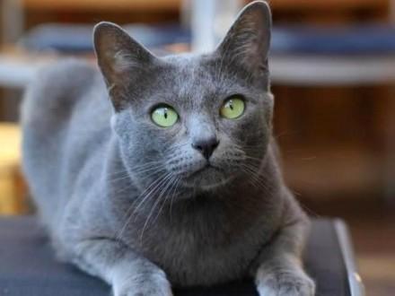 Kot Korat Ogłoszenia Z Hodowli Koty Korat Zoomiapl Pl 1
