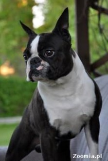 Boston Terrier szczenięta z rodowodem po Ch USA
