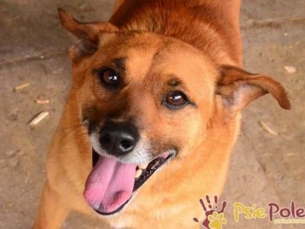 RUMIANEK-wesoły  radosny i pogodny psiak szuka kochającego domu  adopcja