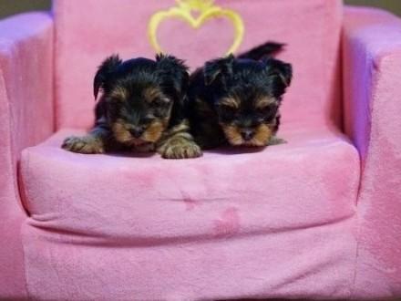 Yorkshire Terrier - york - yorki - szczenięta