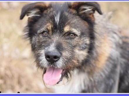 Duży 40 kg  szorstkowłosy  sympatyczny przyjazny pies DORIAN_Adopcja