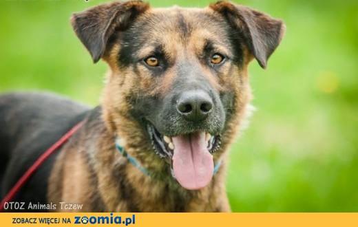 OTOZ Animals - Diesel - młodziutki, owczarkowaty psiak szuka domku!,  pomorskie Tczew