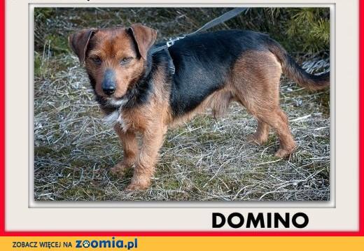 8kg,mały,1 rok,młody,łagodny,rodzinny,szczepiony piesek DOMINO.ADOPCJA,  wielkopolskie Poznań