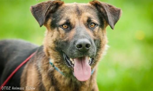 OTOZ Animals - Diesel - młodziutki  owczarkowaty psiak szuka domku!   pomorskie Tczew