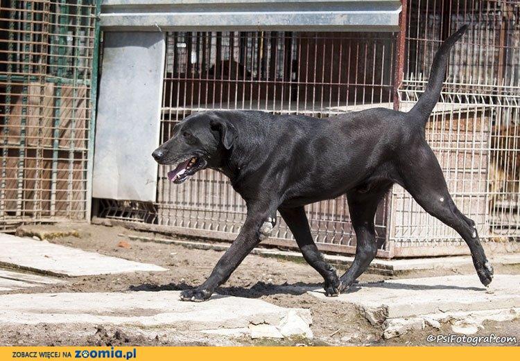 Mefisto - piękny, dostojny, kochany pies szuka domu
