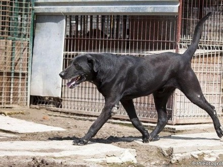 Mefisto - piękny  dostojny  kochany pies szuka domu