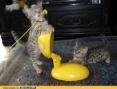 Kot bengalski - są sliczne kocięta