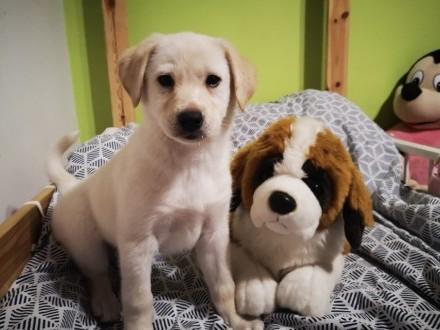 Labrador retriever biszkopt