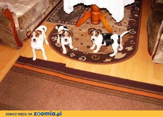 Jack Russell Terrier,  małopolskie Rabka