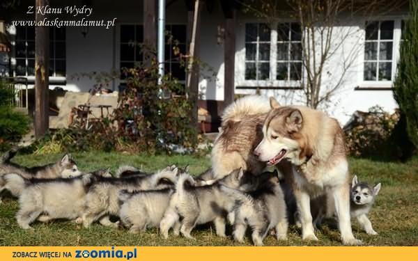Alaskan Malamute rodowodowe szczenięta już do odbioru, mazowieckie