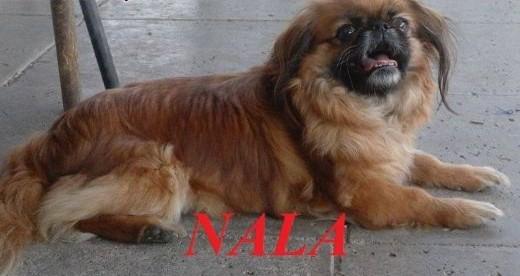 NALA - malutka pekinka szuka kochającego domu   małopolskie Nowy Sącz
