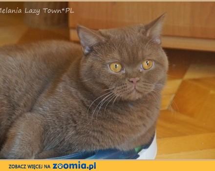 Adopcja cynamonowa kotka brytyjska rodowód WCF