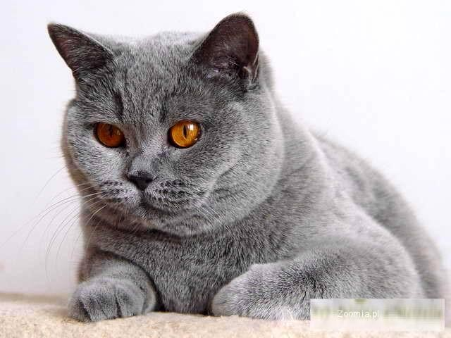 Kotka Brytyjska Niebieska Krótkowłosa Dorosła Wykastrowana