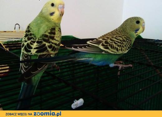 Młodziutkie papużki faliste,  kujawsko-pomorskie Toruń