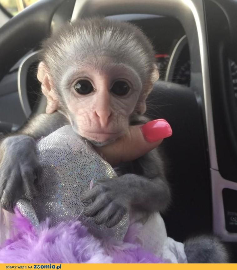 Małpy kapucynów