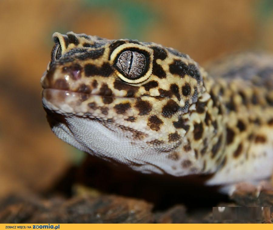 Młode i dorosłe Gekony lamparcie - różne odmiany